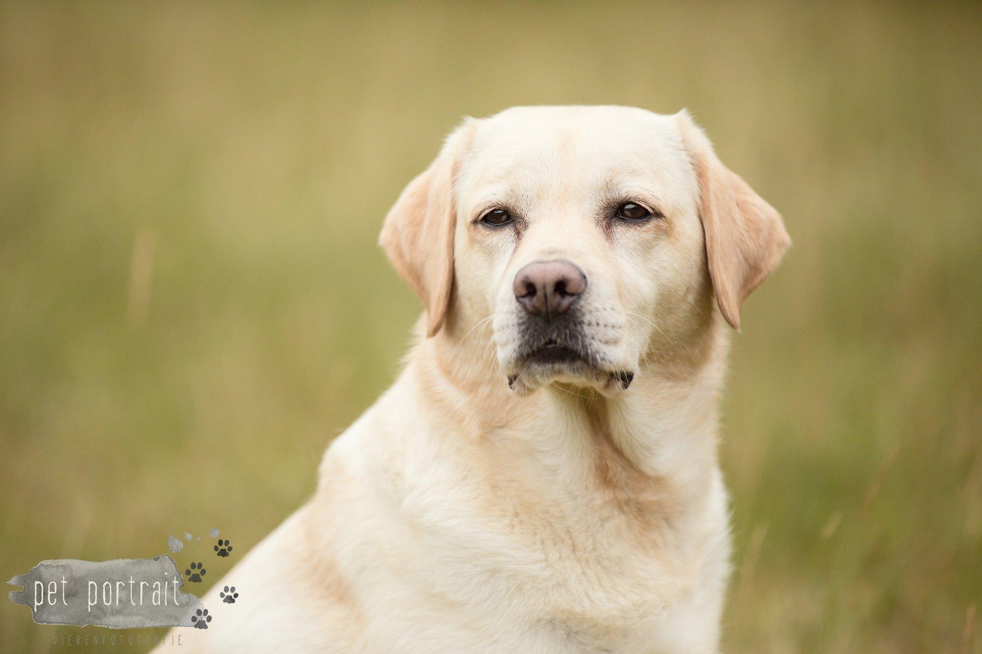 Hondenfotograaf Noordwijk - Twee Labrador retrievers en een kitten-22