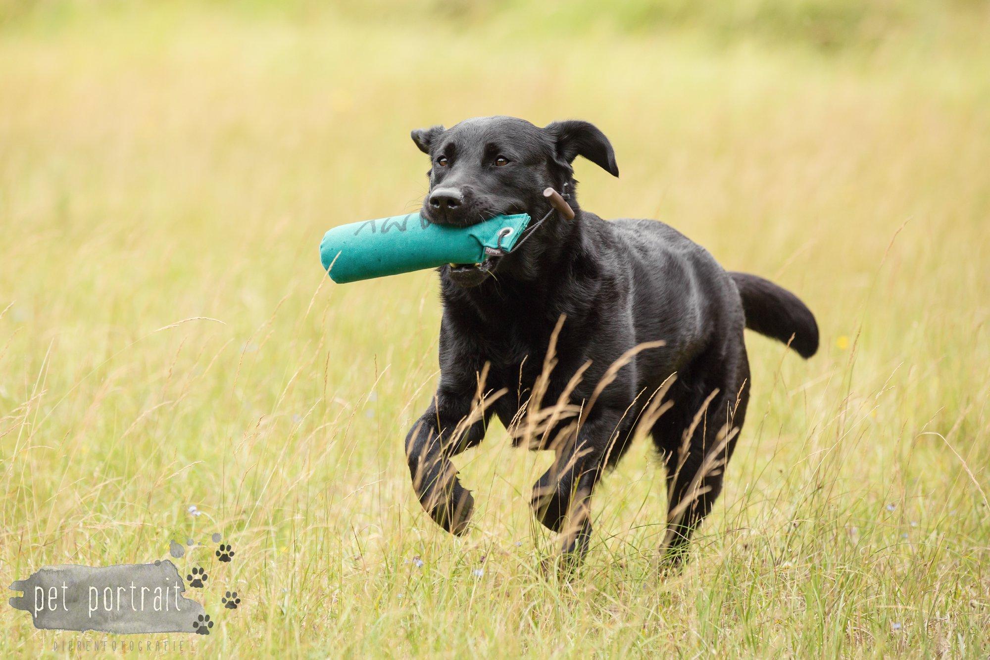 Hondenfotograaf Noordwijk - Twee Labrador retrievers en een kitten-23