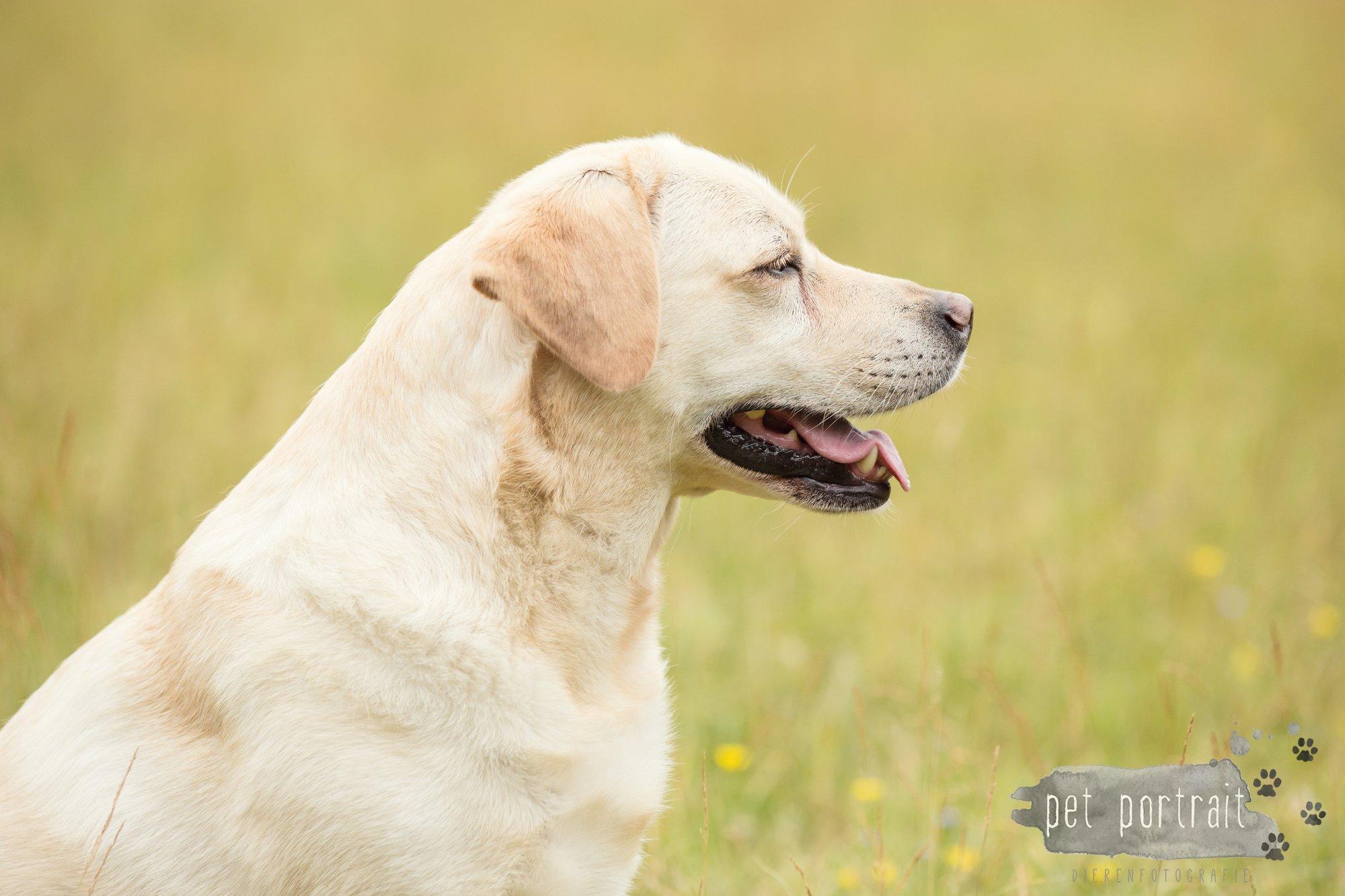 Hondenfotograaf Noordwijk - Twee Labrador retrievers en een kitten-24