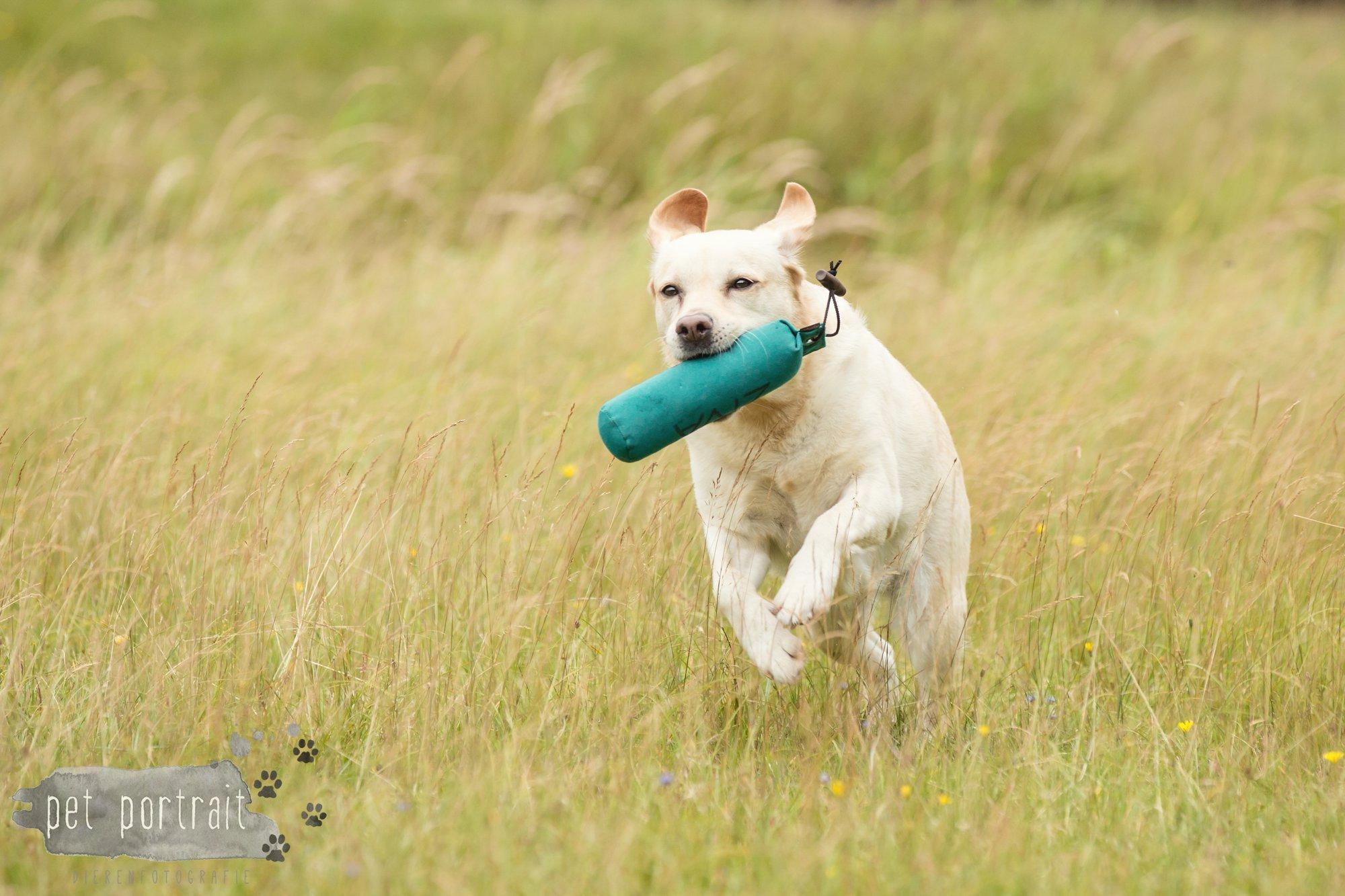 Hondenfotograaf Noordwijk - Twee Labrador retrievers en een kitten-25