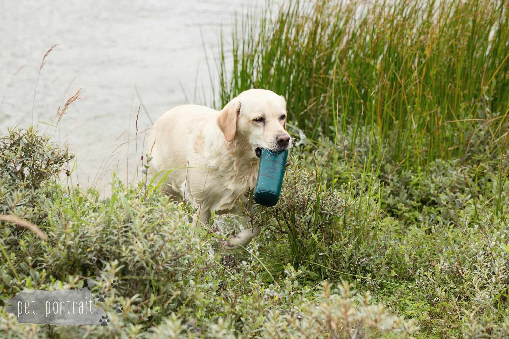 Hondenfotograaf Noordwijk - Twee Labrador retrievers en een kitten-26