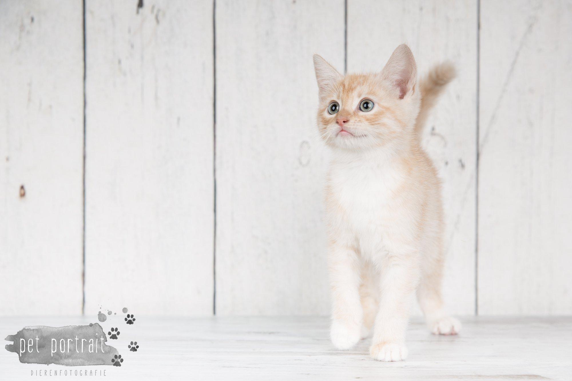 Hondenfotograaf Noordwijk - Twee Labrador retrievers en een kitten-3