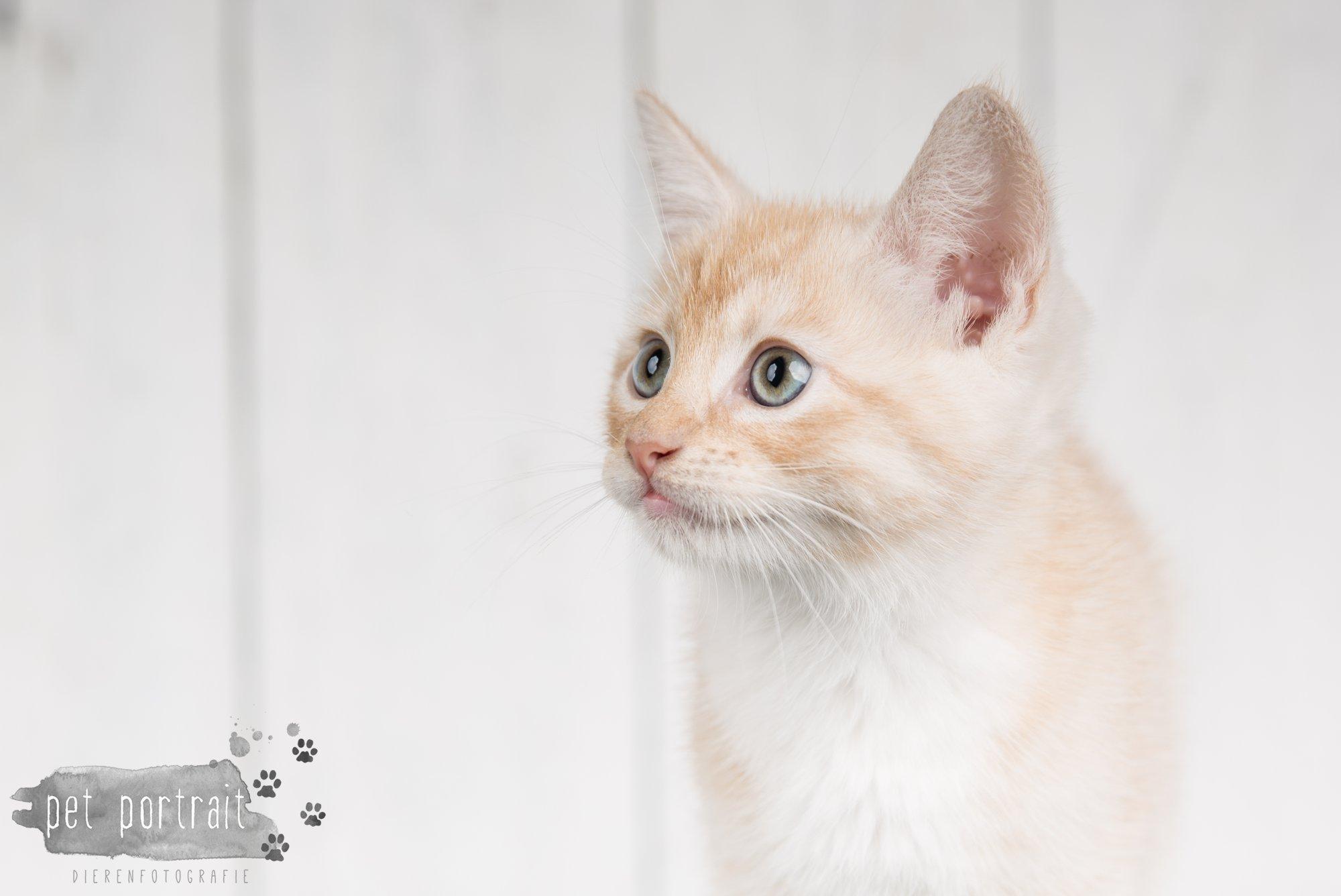 Hondenfotograaf Noordwijk - Twee Labrador retrievers en een kitten-4