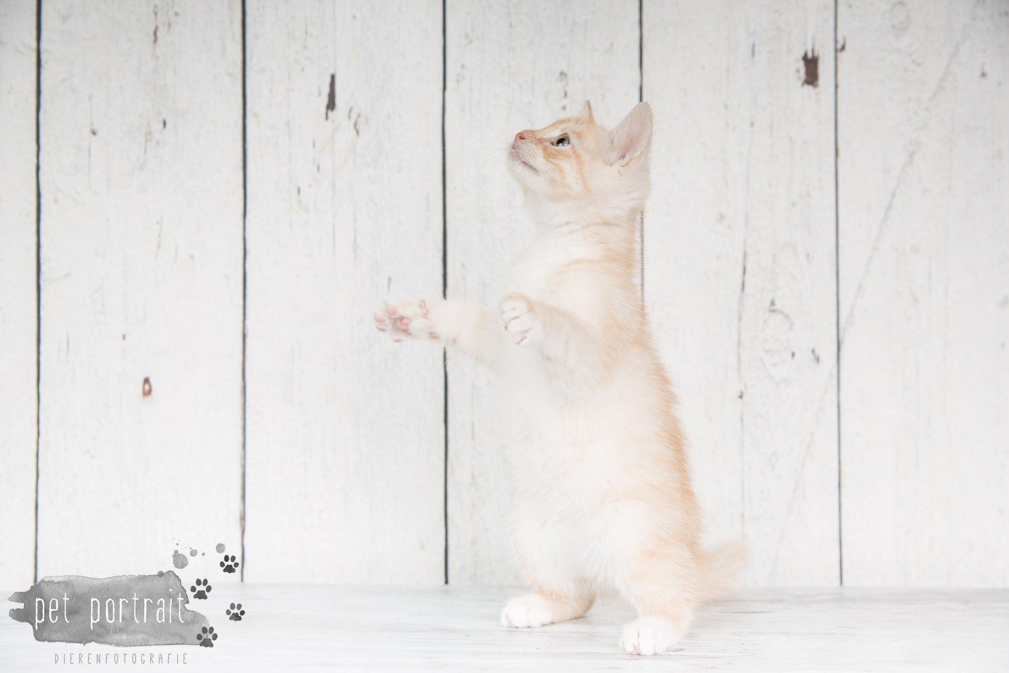 Hondenfotograaf Noordwijk - Twee Labrador retrievers en een kitten-5