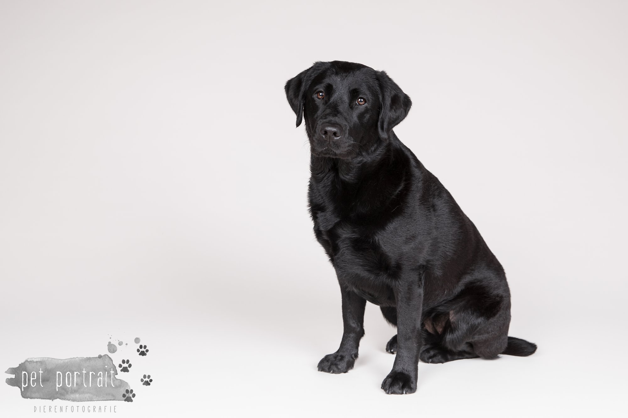 Hondenfotograaf Noordwijk - Twee Labrador retrievers en een kitten-6