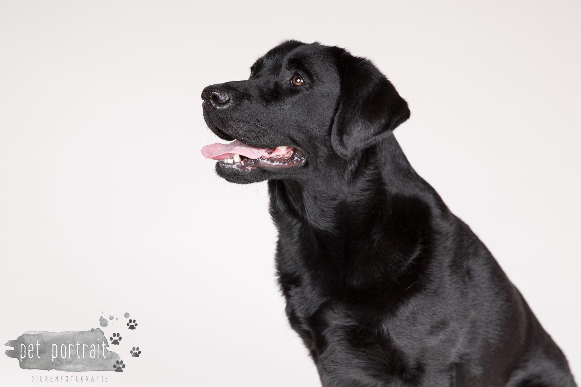 Hondenfotograaf Noordwijk - Twee Labrador retrievers en een kitten-7