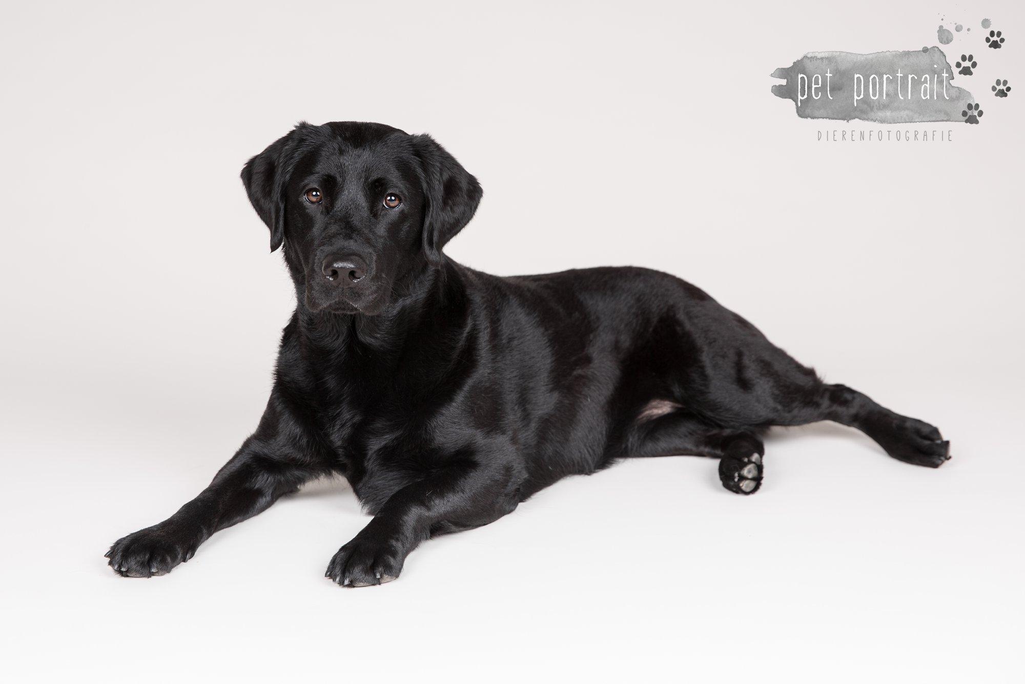 Hondenfotograaf Noordwijk - Twee Labrador retrievers en een kitten-8