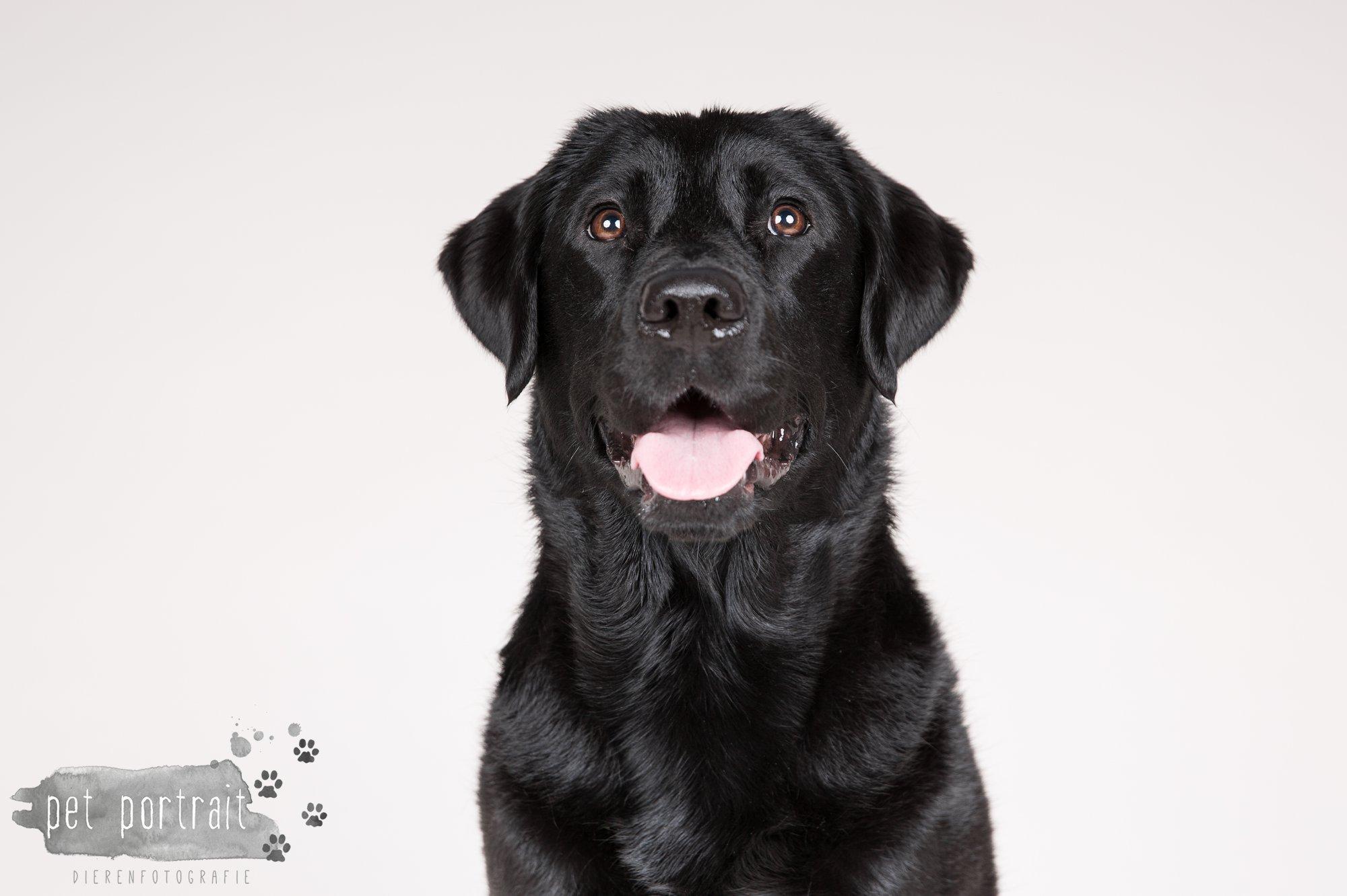 Hondenfotograaf Noordwijk - Twee Labrador retrievers en een kitten-9