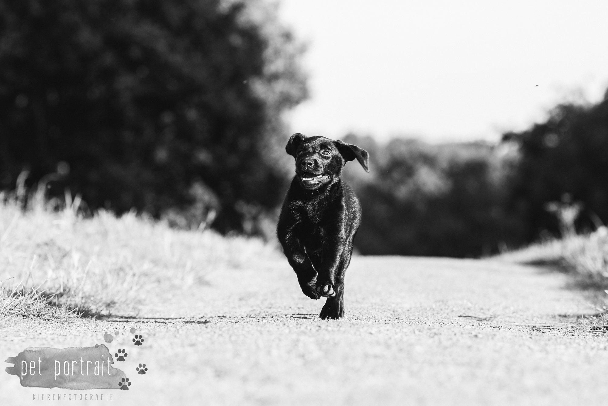 hondenfotograaf-den-haag-labrador-pup-in-het-park-10