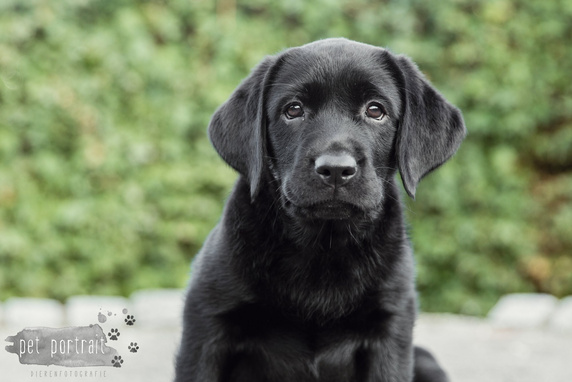 hondenfotograaf-den-haag-labrador-pup-in-het-park-12