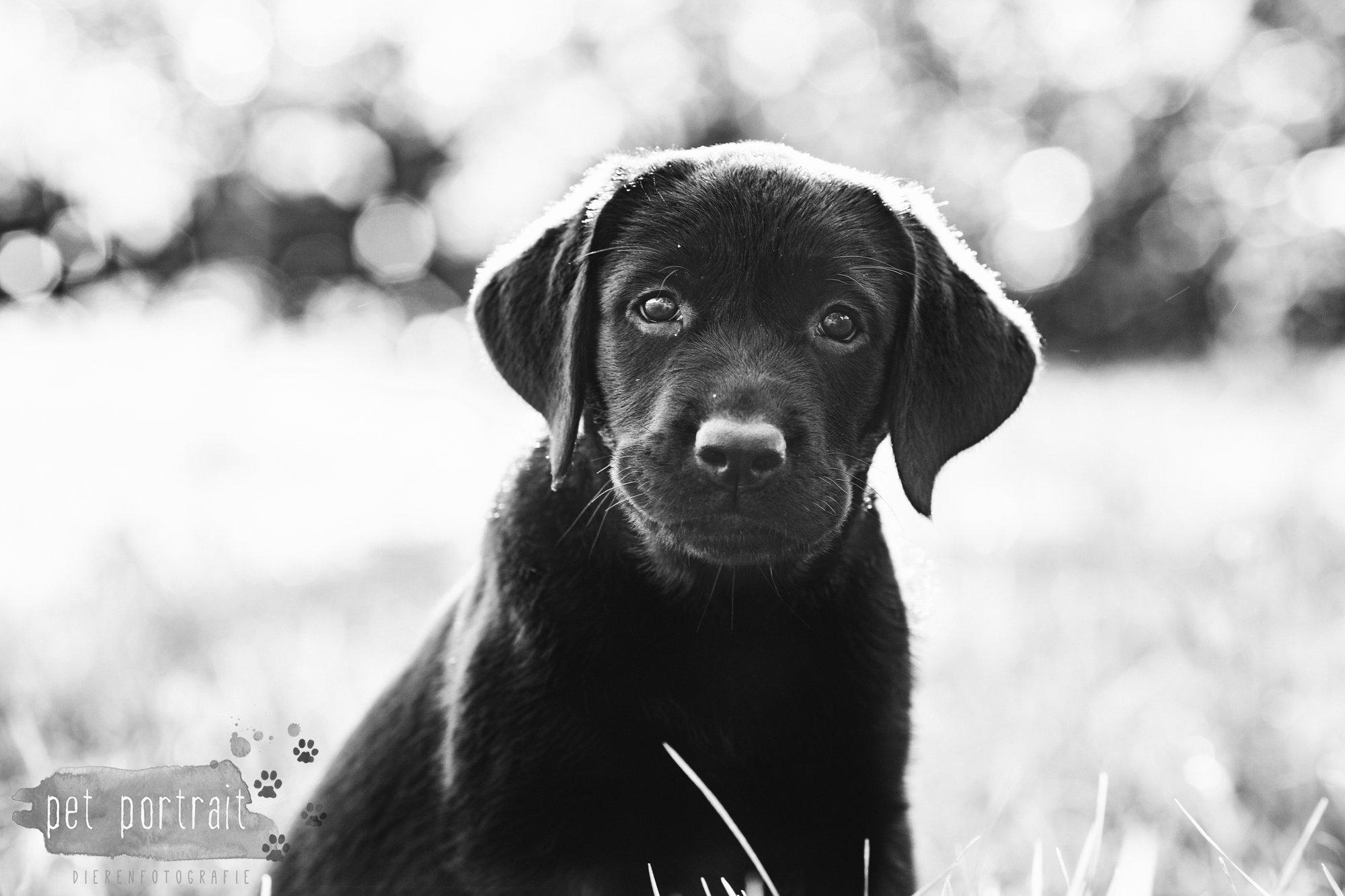 hondenfotograaf-den-haag-labrador-pup-in-het-park-2