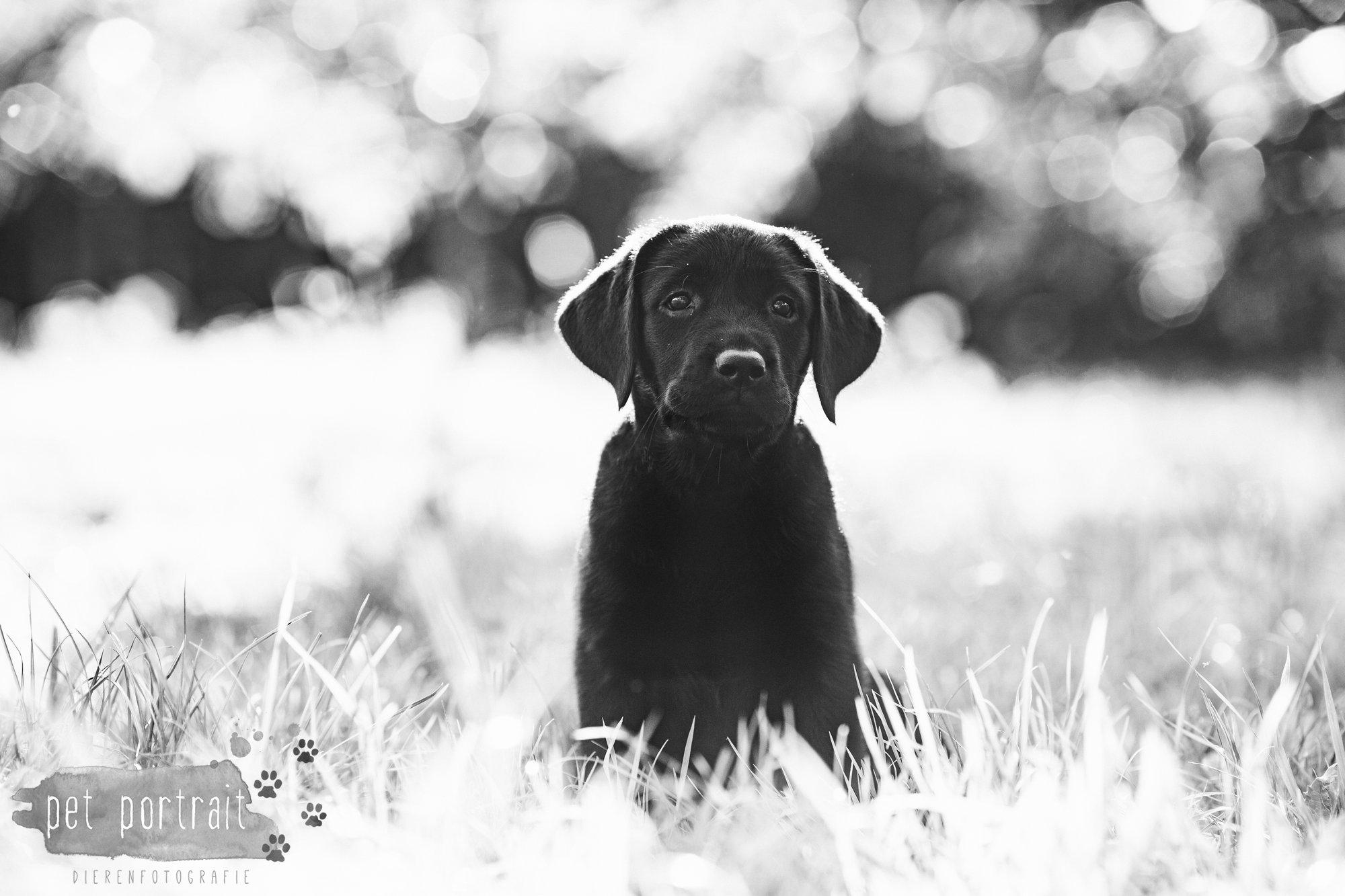 hondenfotograaf-den-haag-labrador-pup-in-het-park-3