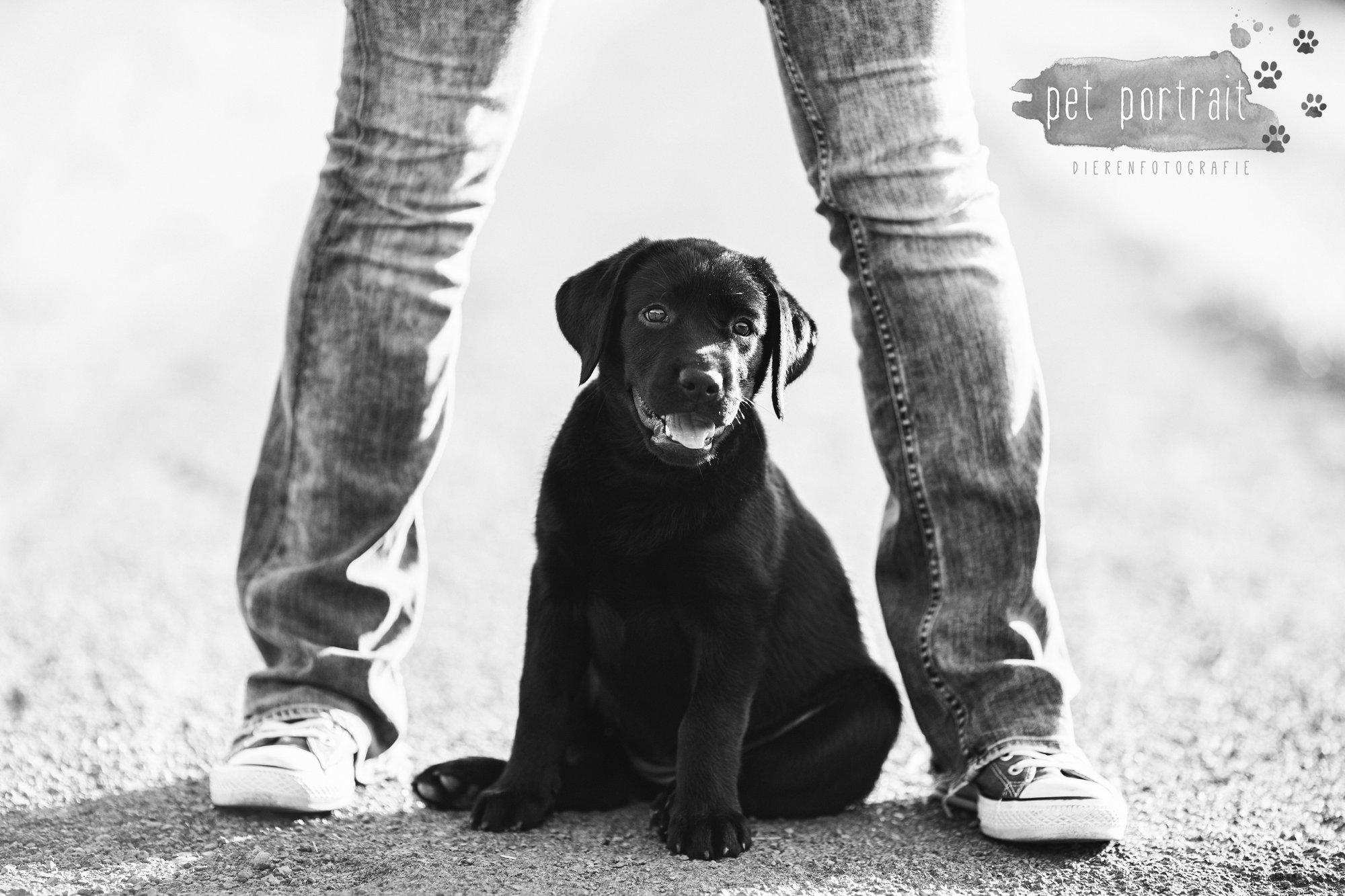 hondenfotograaf-den-haag-labrador-pup-in-het-park-4