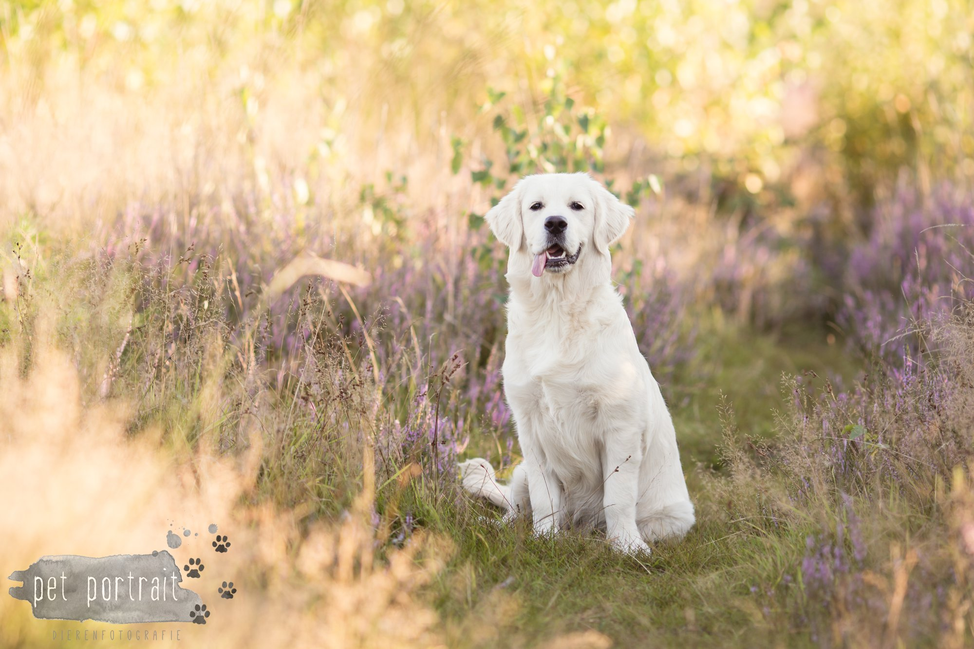 hondenfotograaf-soest-hondenfotoshoot-golden-retriever-1
