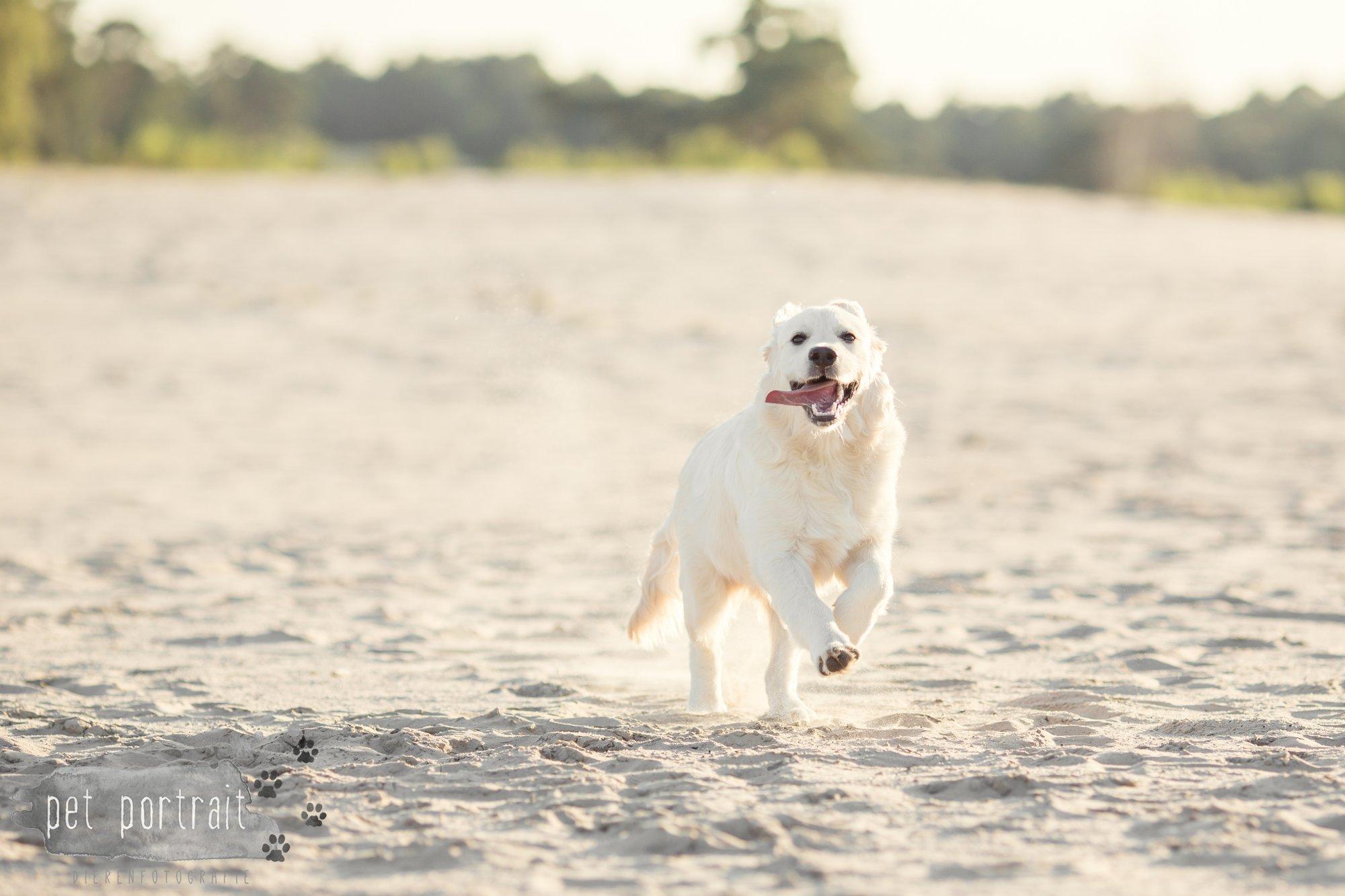 hondenfotograaf-soest-hondenfotoshoot-golden-retriever-11