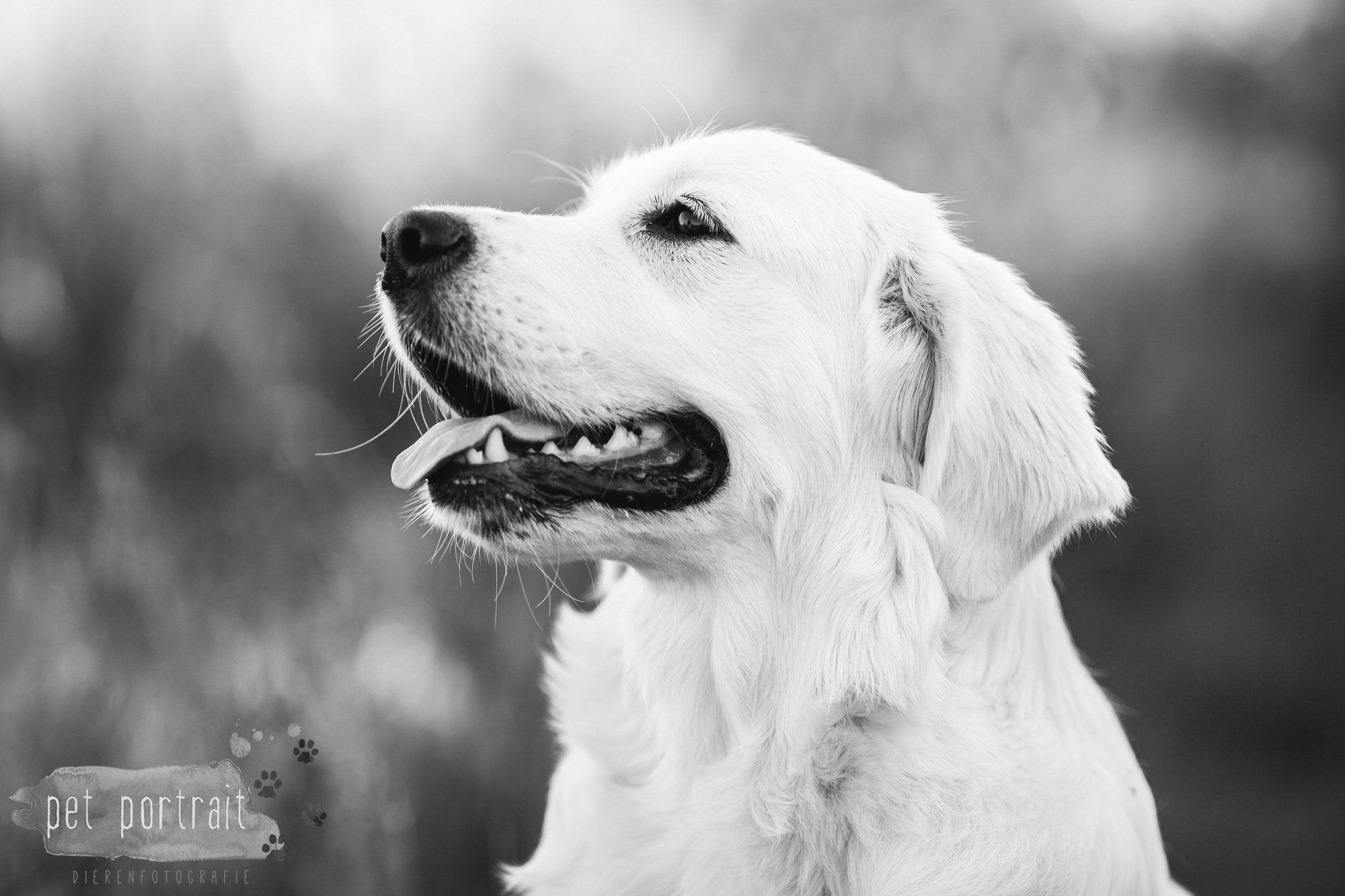 hondenfotograaf-soest-hondenfotoshoot-golden-retriever-4