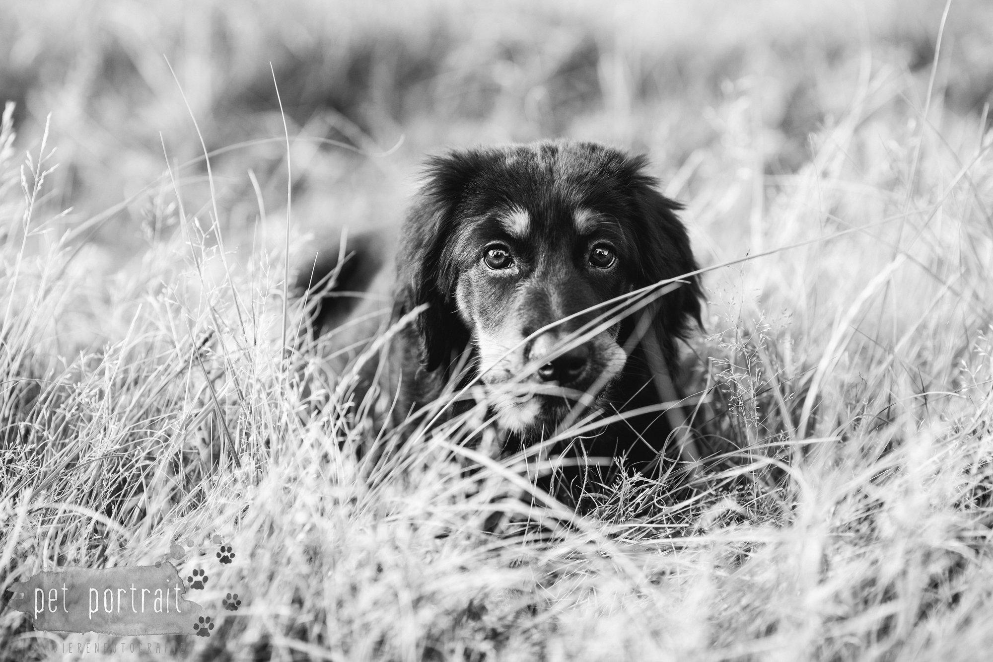 hondenfotograaf-noordwijkerhout-groei-mee-sessie-1-voor-sam-1