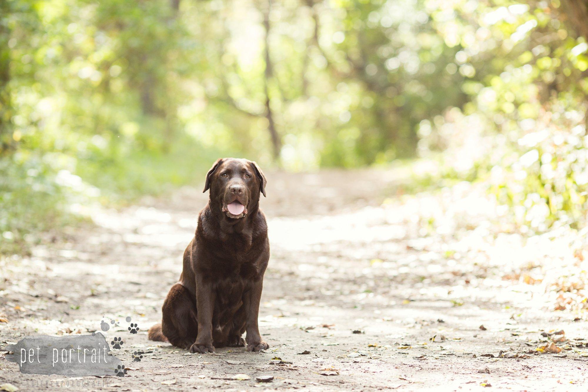 hondenfotograaf-wassenaar-labrador-bikkel-10