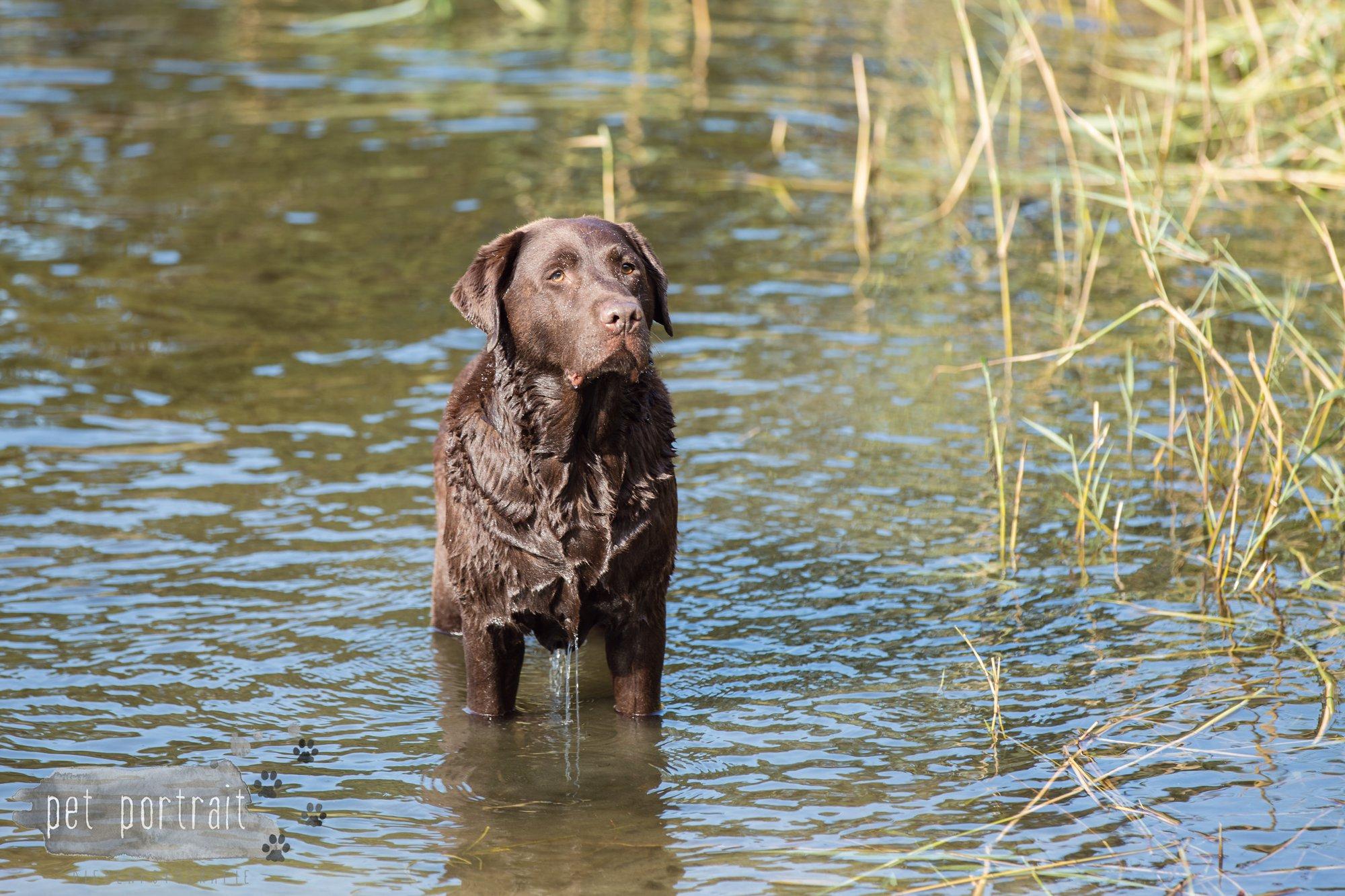 hondenfotograaf-wassenaar-labrador-bikkel-14