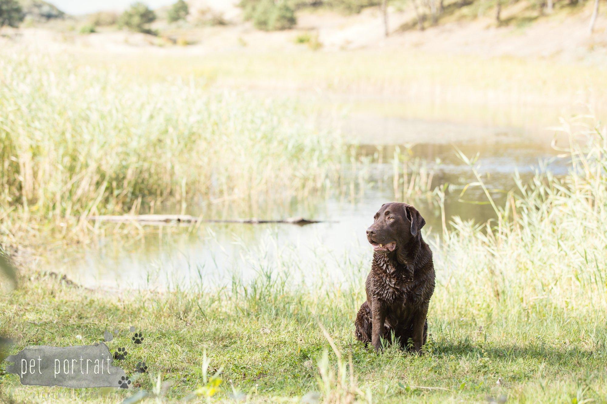 hondenfotograaf-wassenaar-labrador-bikkel-16