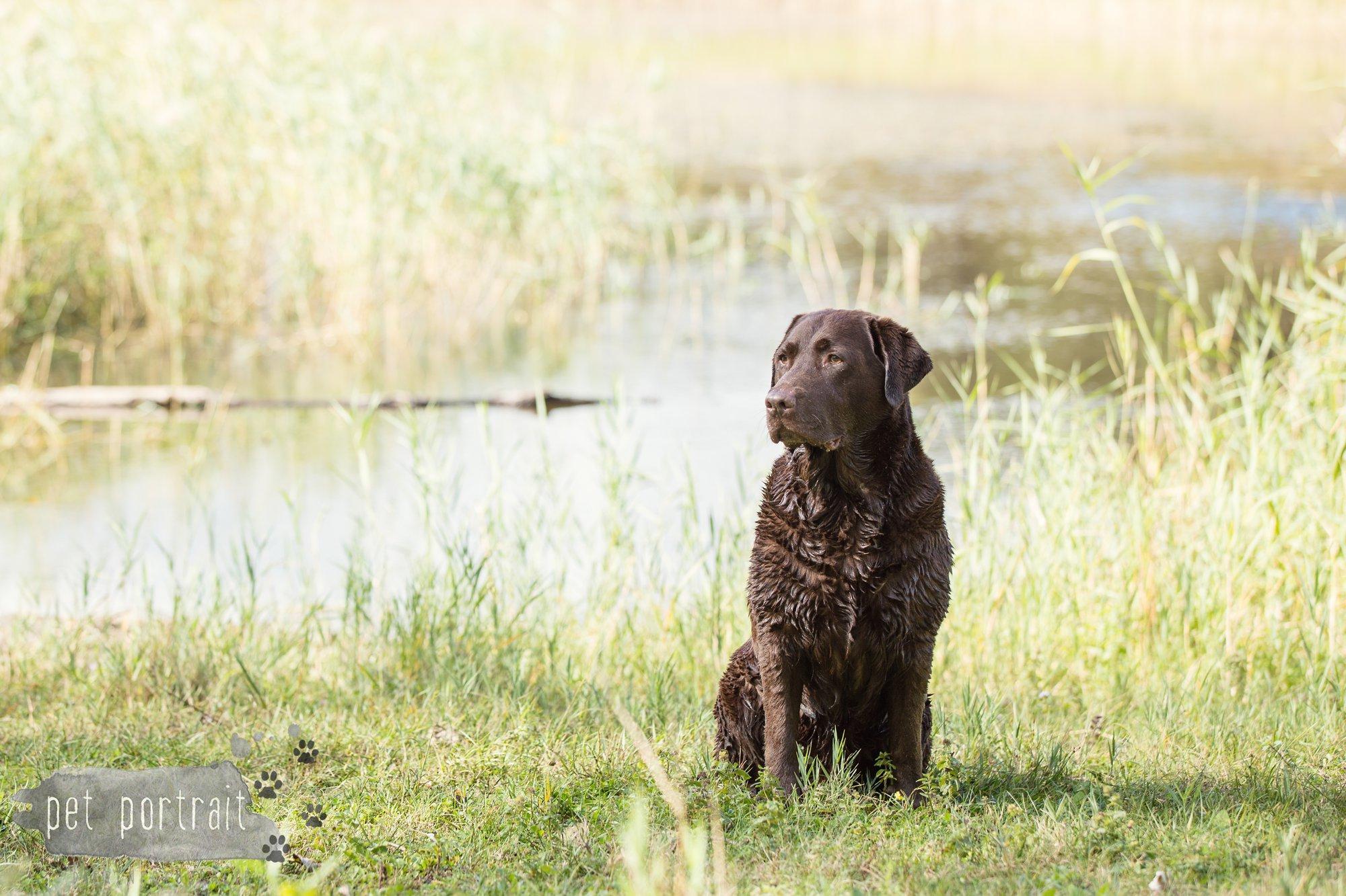 hondenfotograaf-wassenaar-labrador-bikkel-17