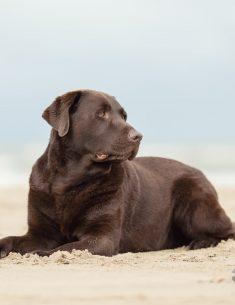 Hondenfotograaf Wassenaar - Labrador Bikkel