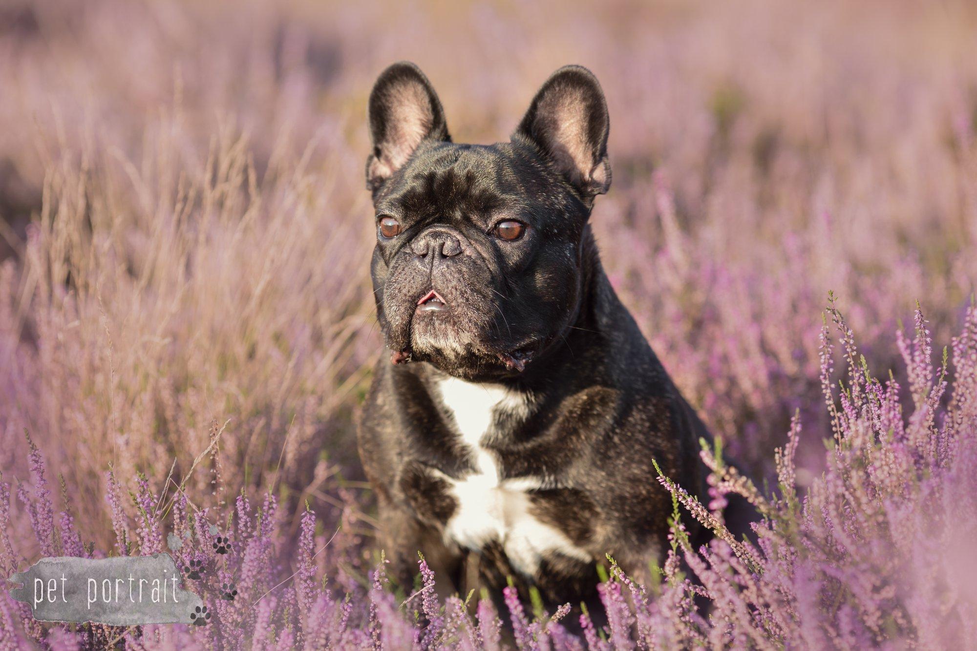 Hondenfotograaf Blaricum - Franse Bulldog Bram