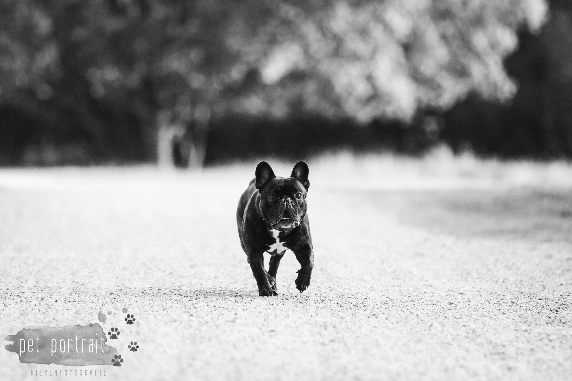 hondenfotograaf-blaricum-franse-bulldog-bram-10