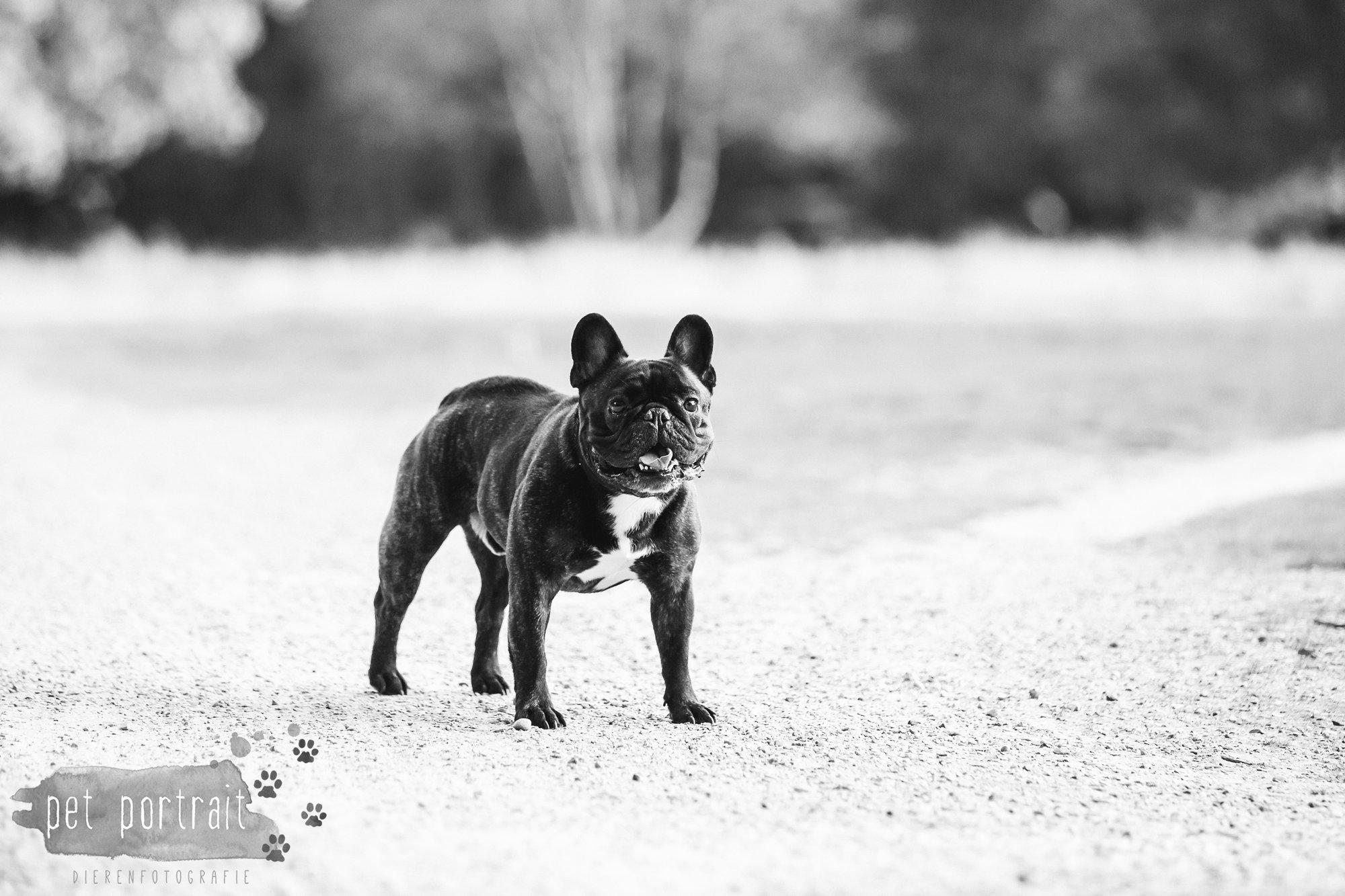 hondenfotograaf-blaricum-franse-bulldog-bram-11