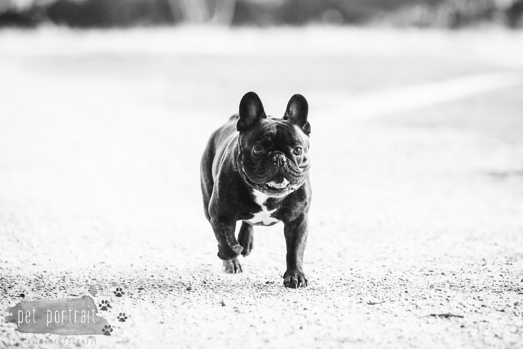 hondenfotograaf-blaricum-franse-bulldog-bram-12