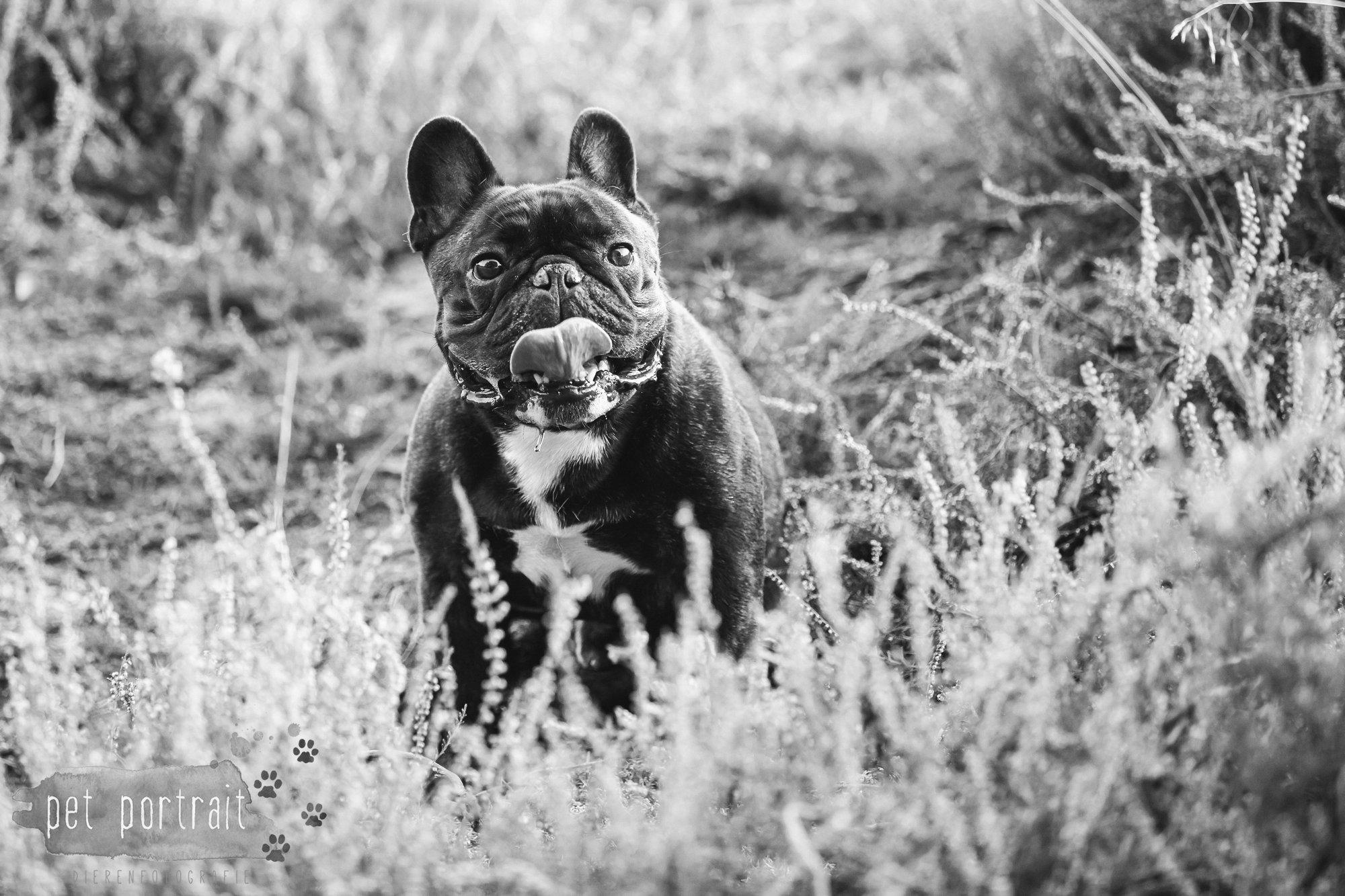 hondenfotograaf-blaricum-franse-bulldog-bram-13