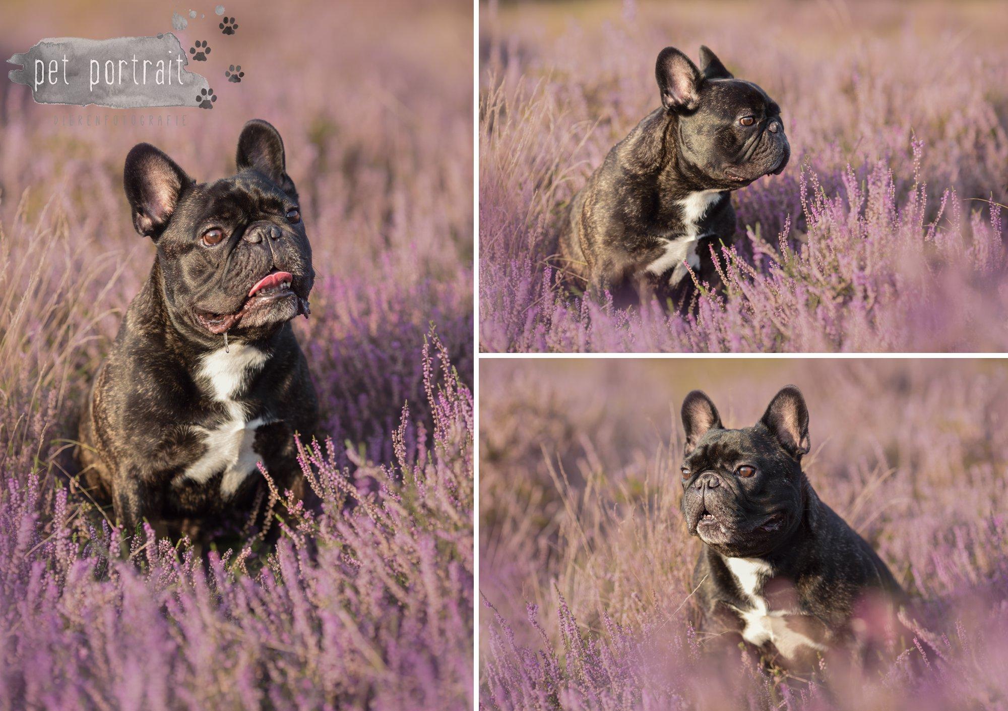hondenfotograaf-blaricum-franse-bulldog-bram-3