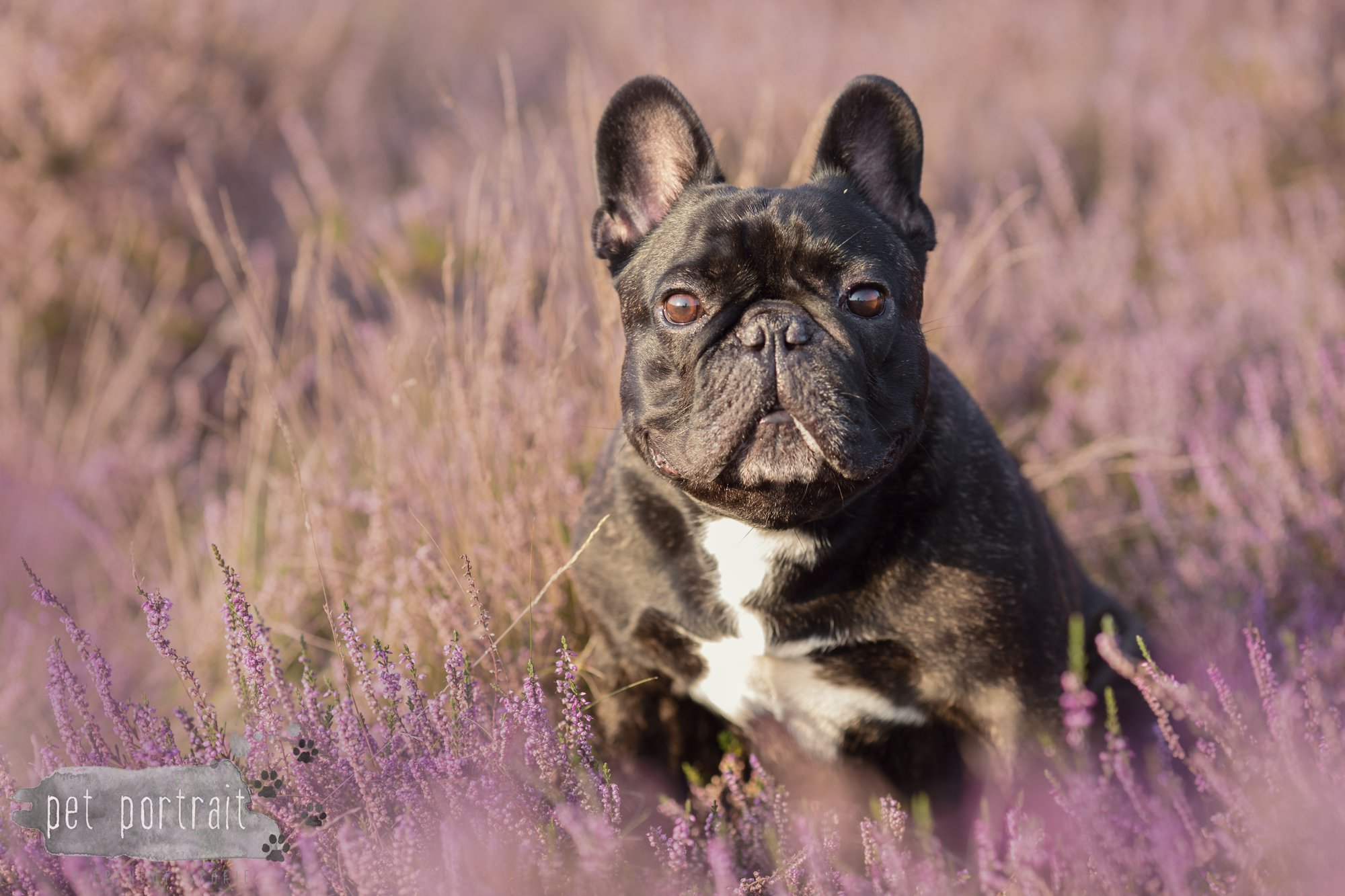 hondenfotograaf-blaricum-franse-bulldog-bram-4