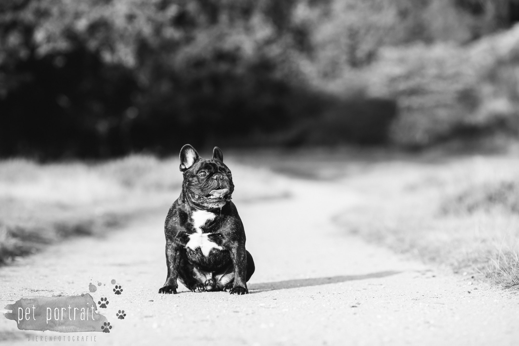 hondenfotograaf-blaricum-franse-bulldog-bram-7