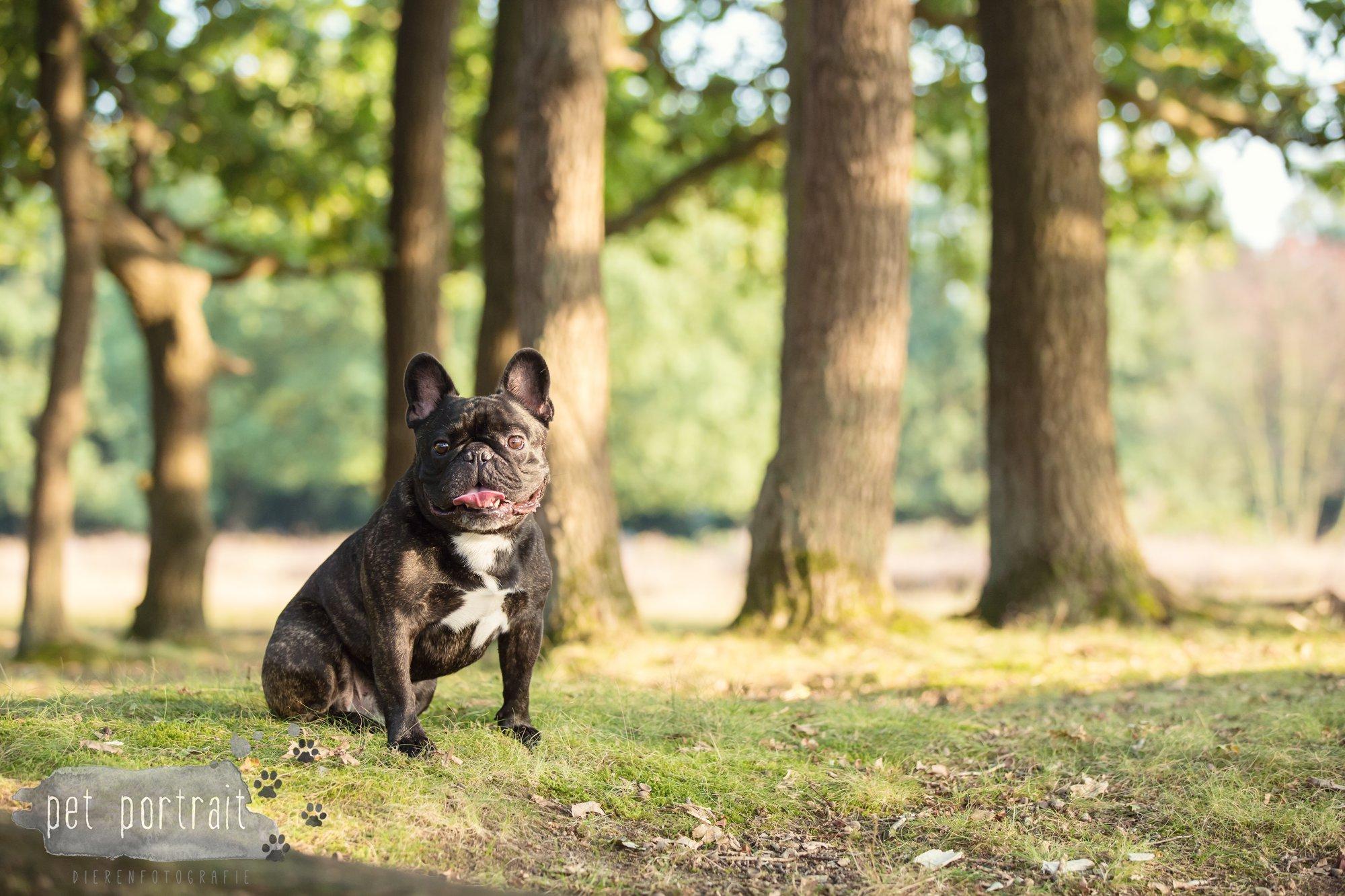 hondenfotograaf-blaricum-franse-bulldog-bram-8