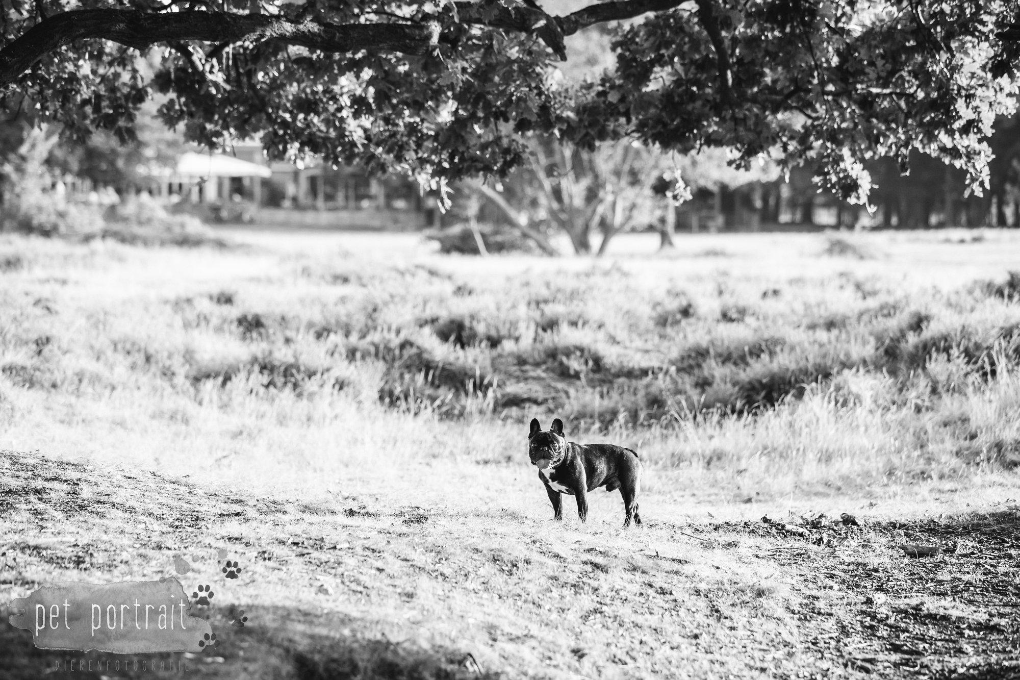 hondenfotograaf-blaricum-franse-bulldog-bram-9