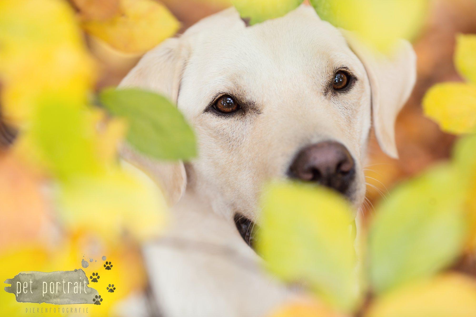 hondenfotograaf-s-graveland-beloved-dier-en-baasje-fotoshoot-labrador-juul-13