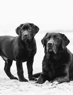 Hondenfotograaf Noordwijkerhout - Twee Labradors in de studio en op het strand