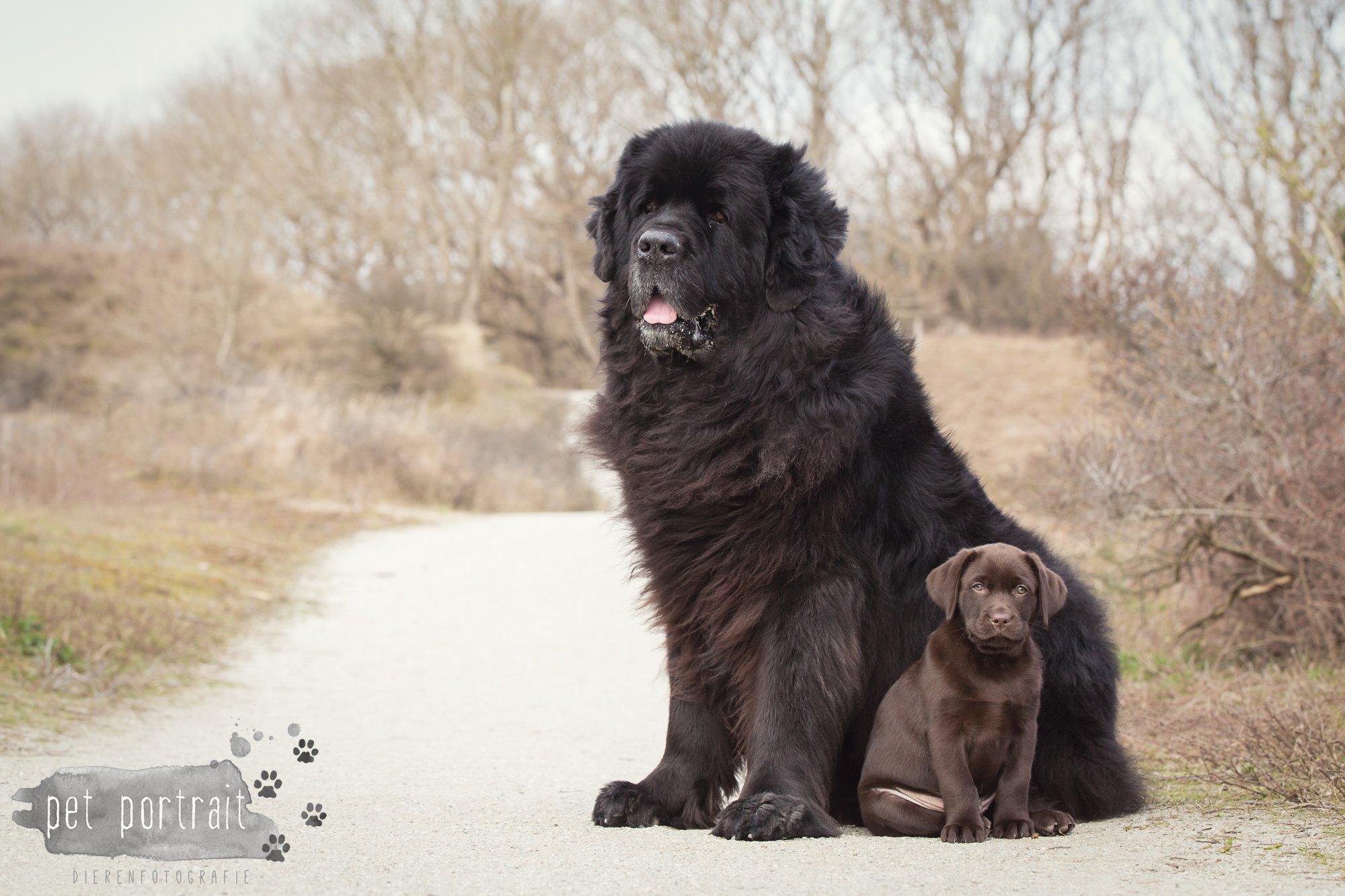 Hondenfotograaf Katwijk - Labrador en Newfoundlander