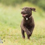 Hondenfotograaf Reeuwijk - Labrador pup Guusje