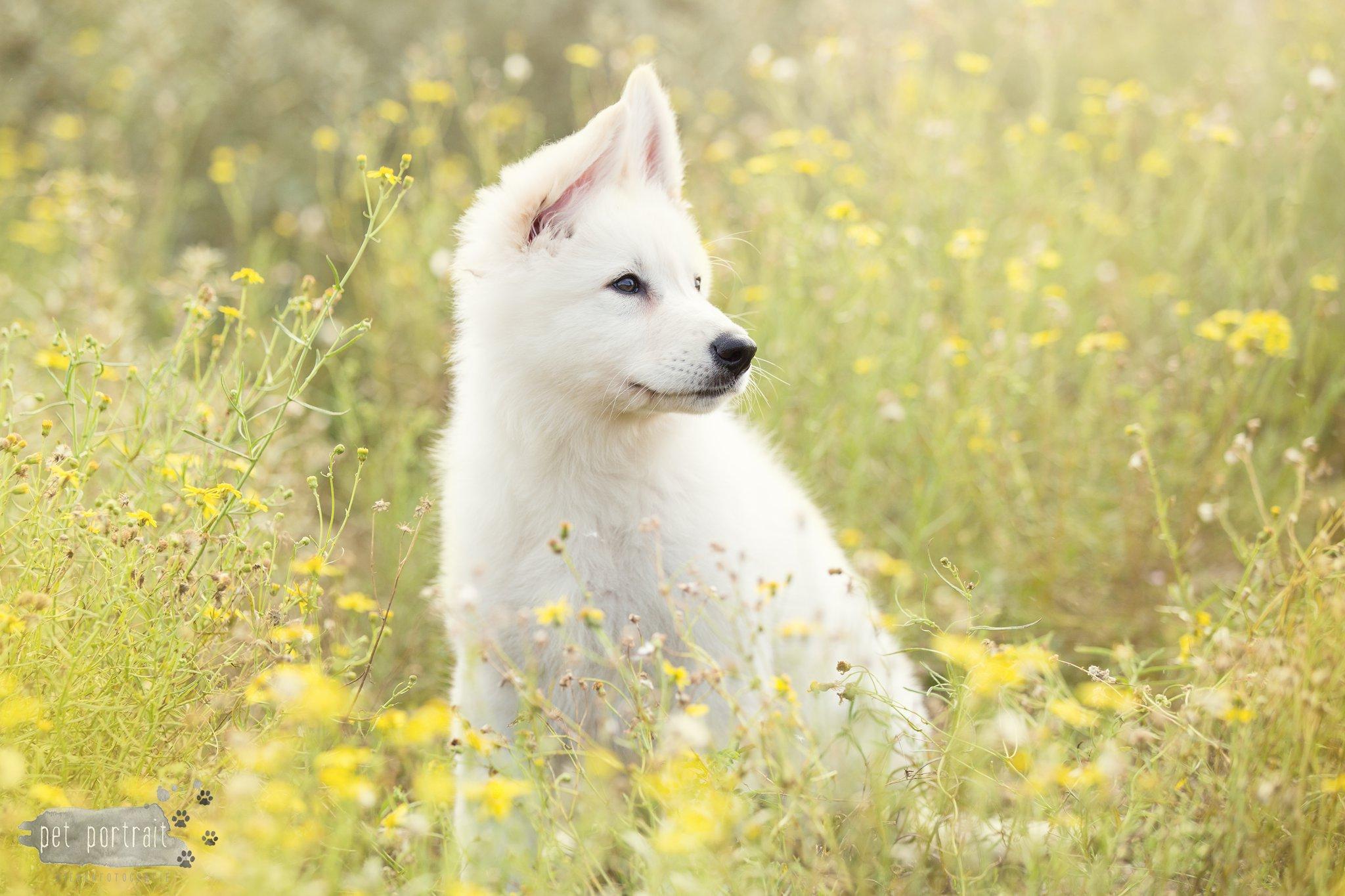 Hondenfotograaf Katwijk - Labrador en Zwitserse Witte Herder pup