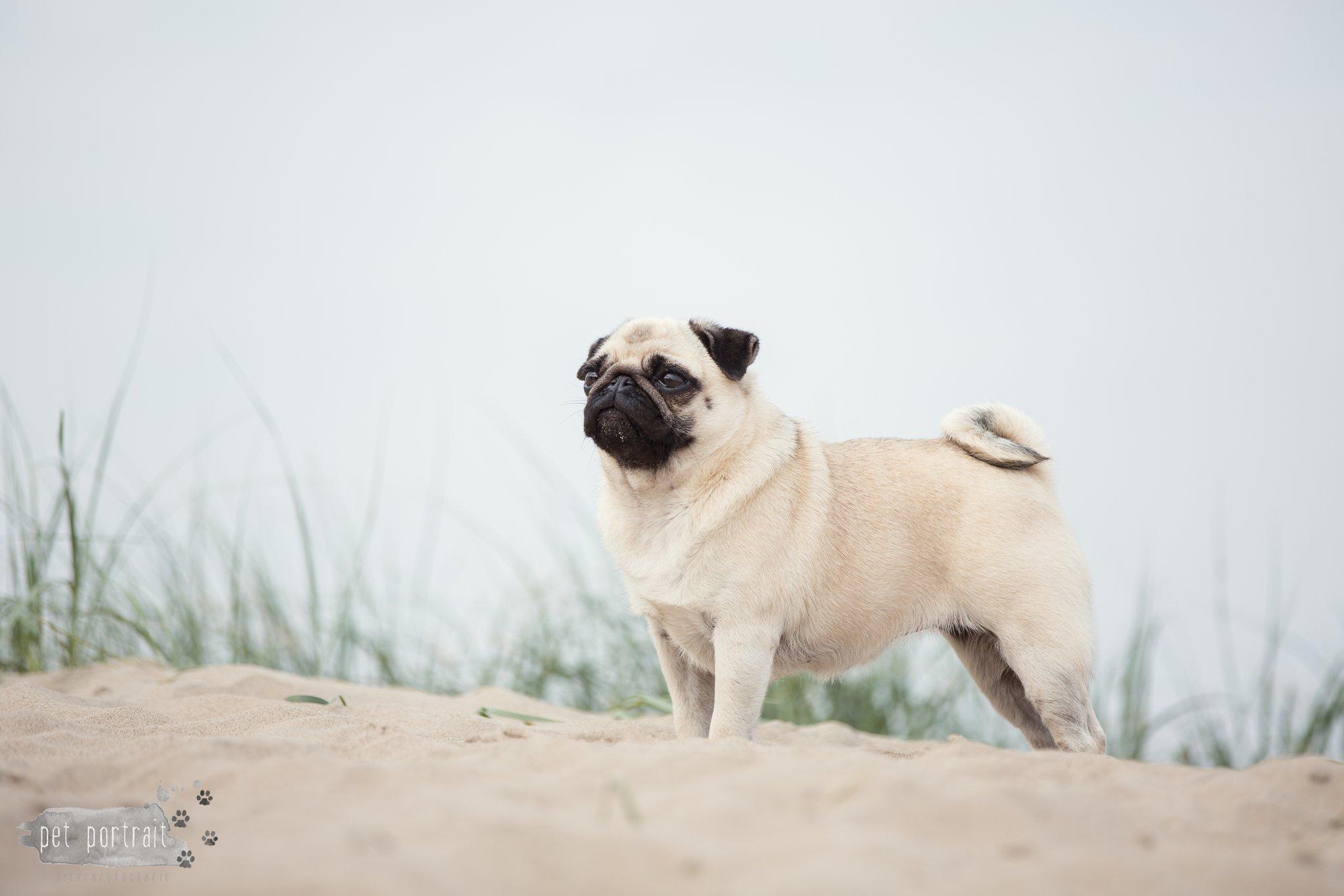 Hondenfotograaf Noordwijk - Mopshond Fenna