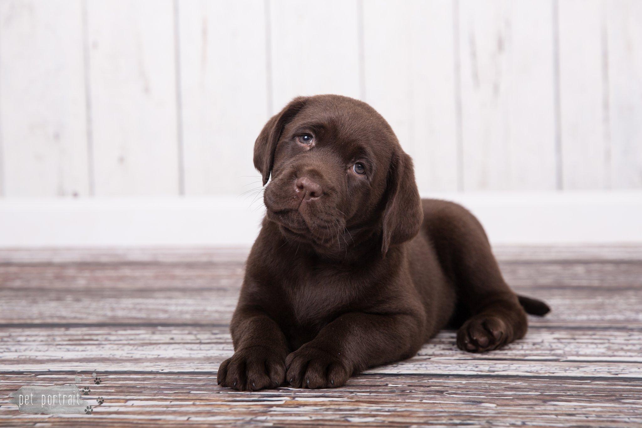 Hondenfotograaf Noordwijkerhout - Nestfotoshoot Labrador pups