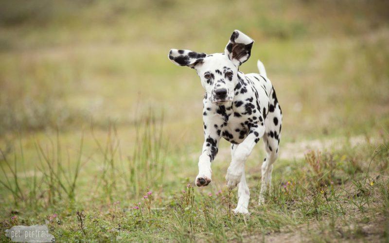 Hondenfotograaf Wassenaar - Dier en Baasje fotoshoot Dalmatiër Loulou