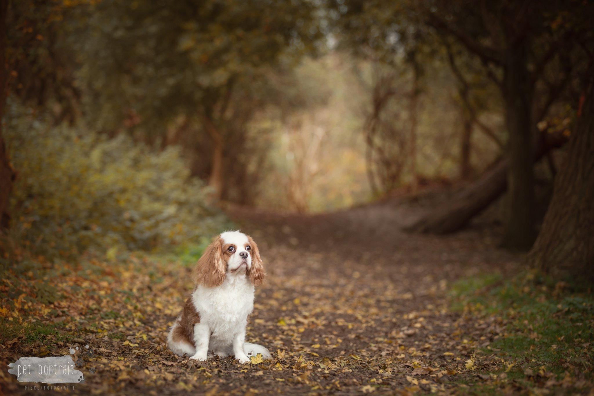 Hondenfotograaf Katwijk - King Charles Spaniel Charlie