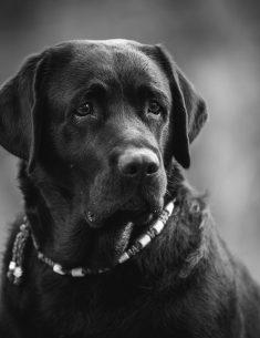 Hondenfotograaf Leiden - Labradors Juno, Freyja en Skadi - week 8
