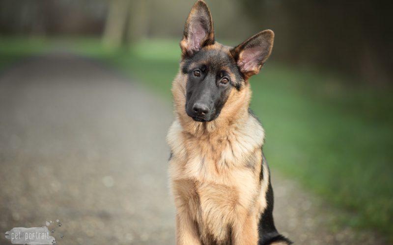 Hondenfotograaf Leiden - Fotoshoot voor een Duitse Herder pup