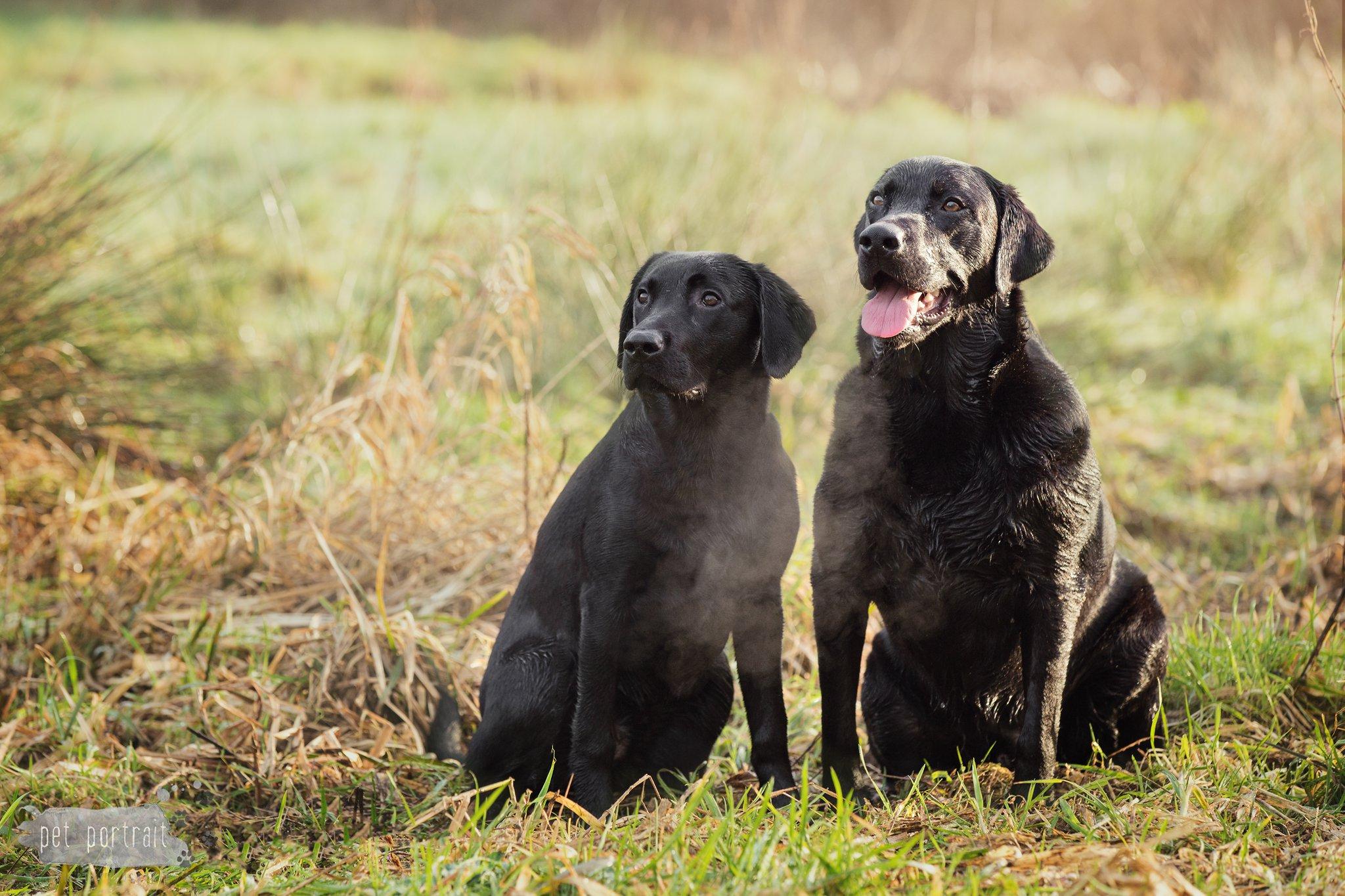 Hondenfotograaf Reeuwijk - Fotoshoot voor twee Labradors