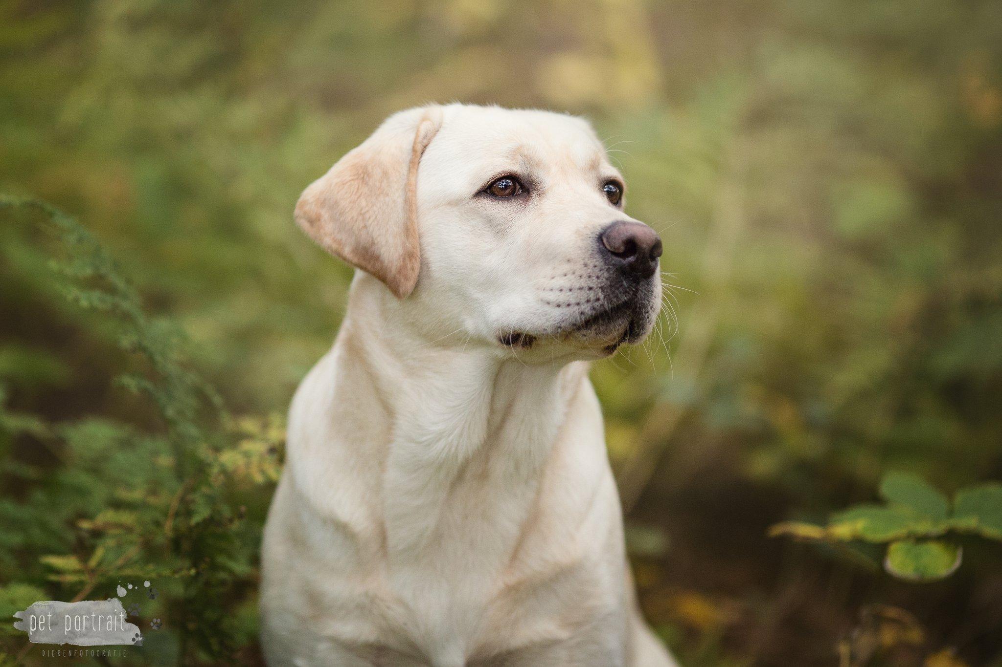 Hondenfotograaf Wassenaar - Fotoshoot voor Labrador Cooper