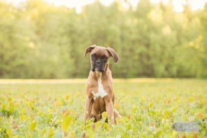 Hondenfotograaf Bruinisse - Beloved Dier en Baasje fotoshoot voor een Boxerpup